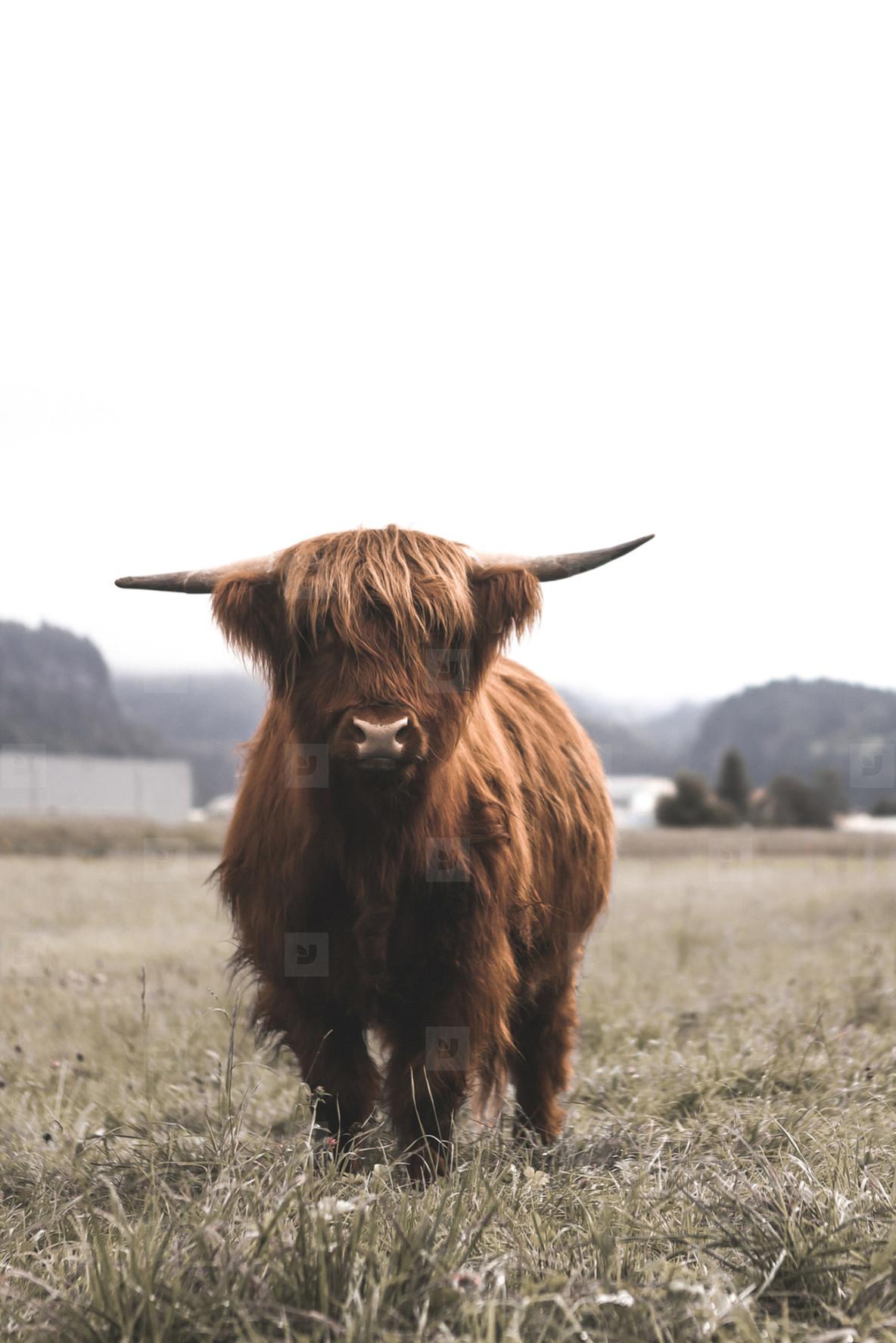 Scottish Highland Cow 2
