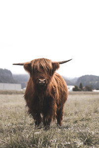 Scottish Highland Cow 2