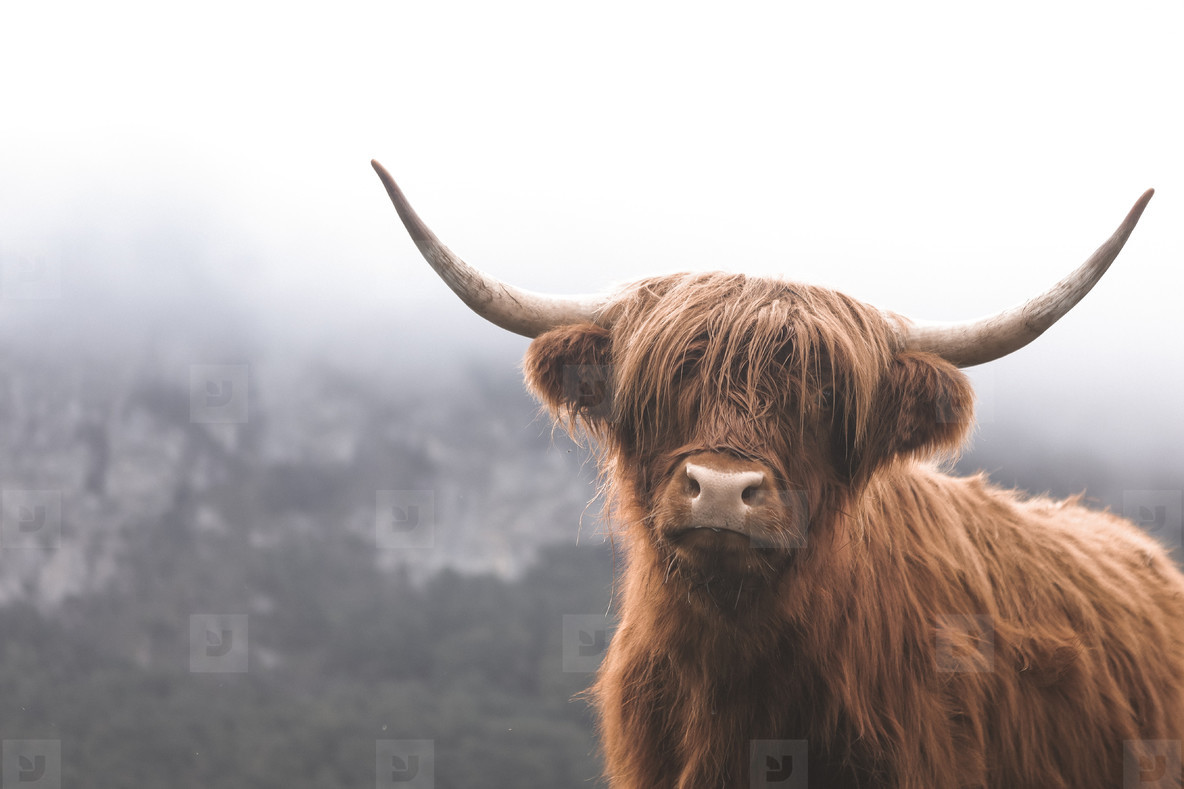 Scottish Highland Cow 3