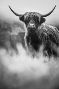 Scottish Highland Cow 4