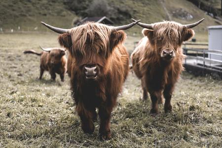 Scottish Highland Cow 5