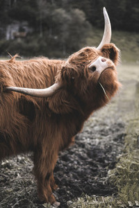 Scottish Highland Cow 6