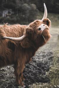 Scottish Highland Cow 6