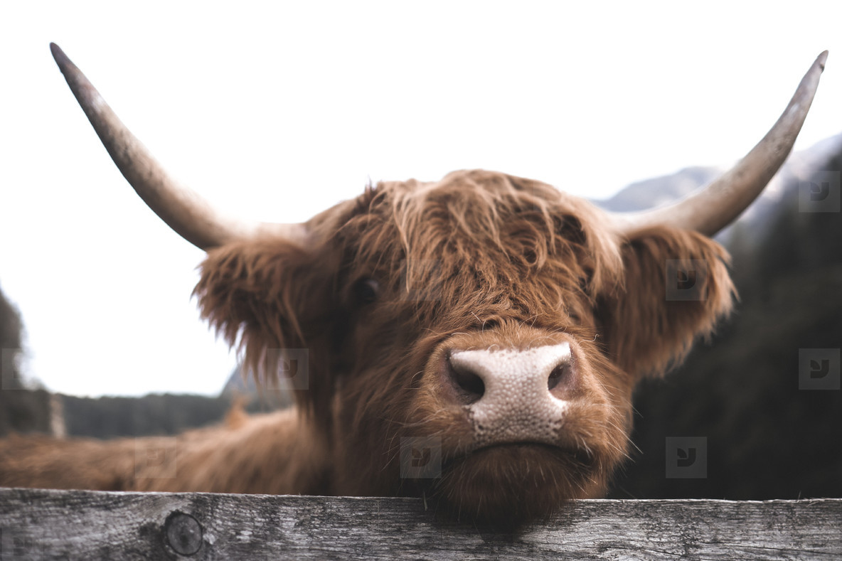Scottish Highland Cow 7