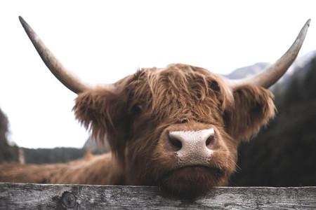 Scottish Highland Cow 7