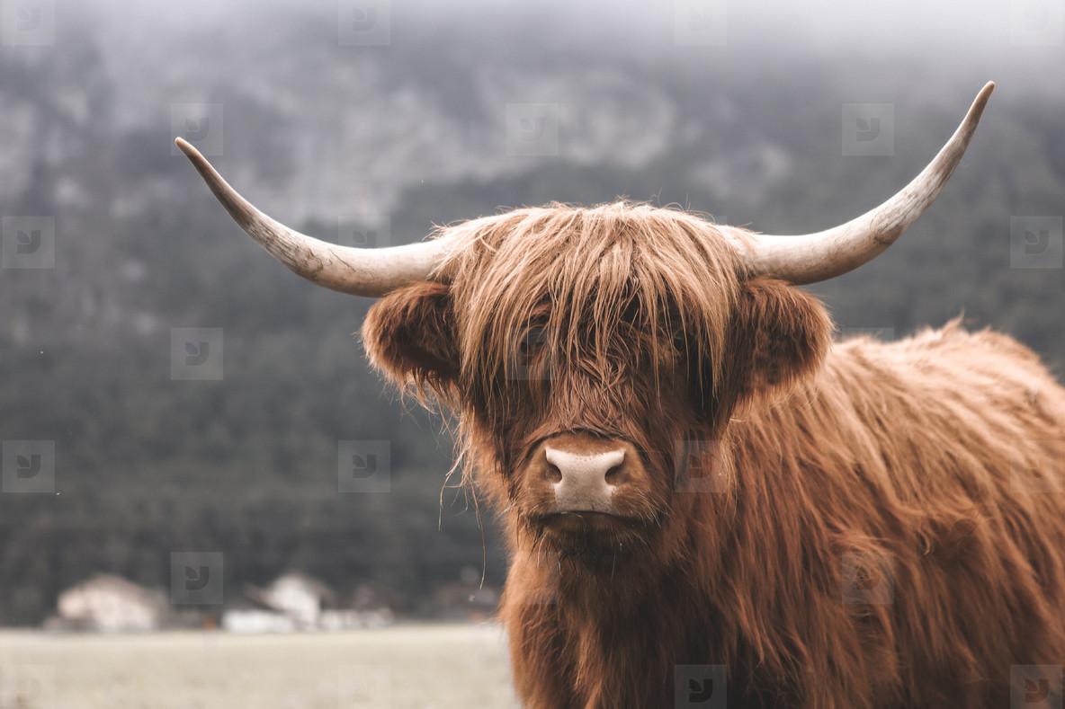 Scottish Highland Cow 8