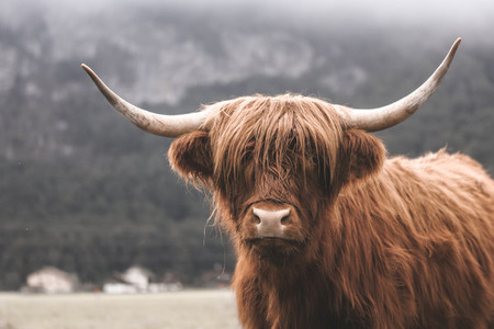 Scottish Highland Cow 8