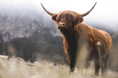 Scottish Highland Cow 9