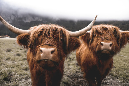 Scottish Highland Cow 11