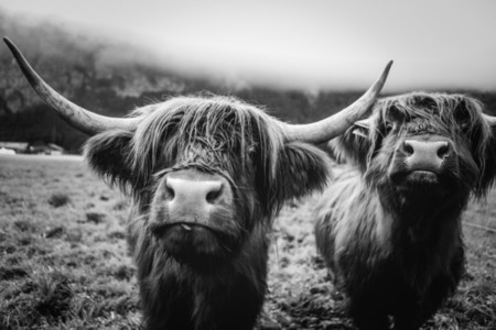 Scottish Highland Cow 12