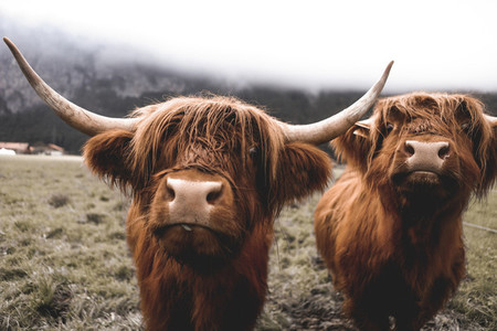 Scottish Highland Cow 13