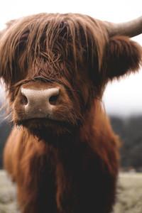 Scottish Highland Cow 14