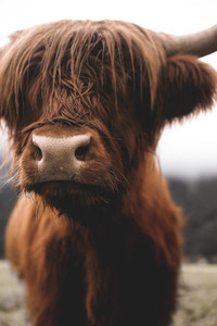 Scottish Highland Cow 14