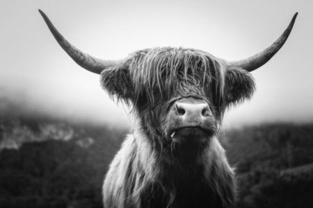 Scottish Highland Cow 15