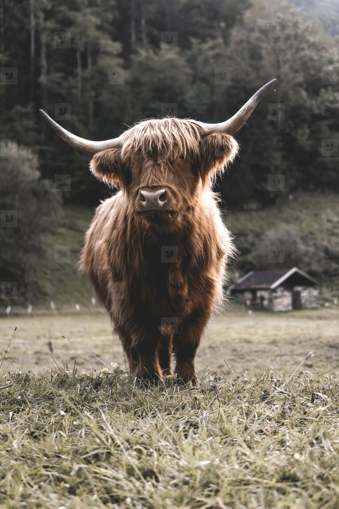 Scottish Highland Cow 16