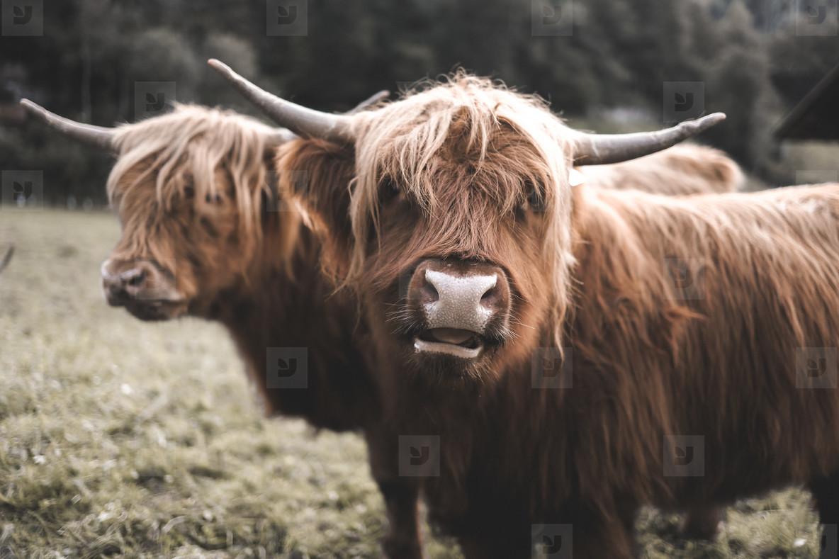 Scottish Highland Cow 17