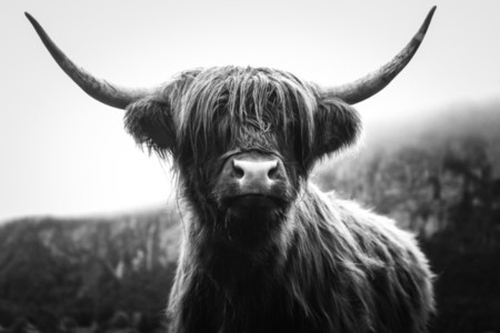 Scottish Highland Cow 18