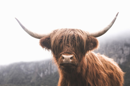Scottish Highland Cow 19
