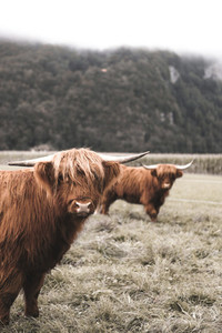 Scottish Highland Cow 20