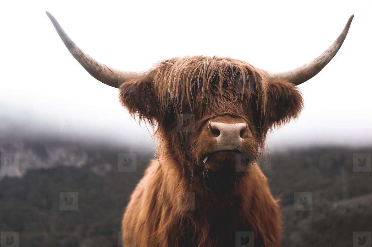 Scottish Highland Cow 21