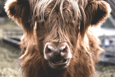Scottish Highland Cow 22