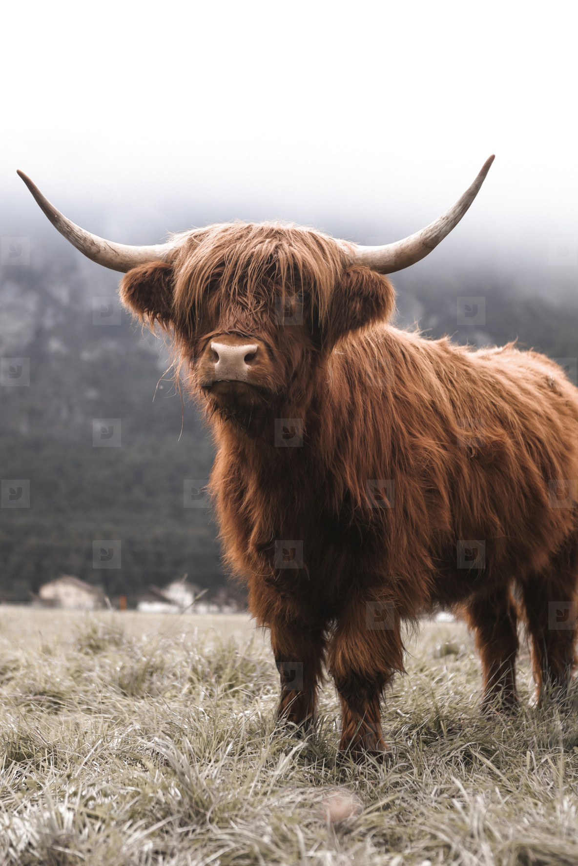Scottish Highland Cow 24