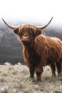 Scottish Highland Cow 24