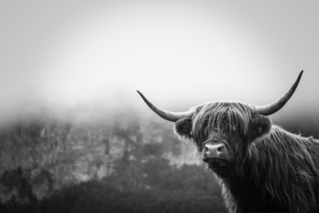 Scottish Highland Cow 25