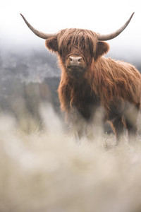 Scottish Highland Cow 26