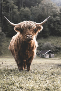 Scottish Highland Cow 28