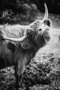 Scottish Highland Cow 29