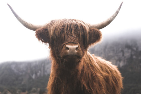 Scottish Highland Cow 30