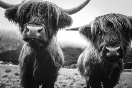 Scottish Highland Cow 31