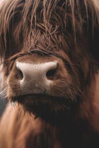 Scottish Highland Cow 32