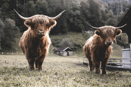 Scottish Highland Cow 33