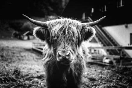 Scottish Highland Cow 34