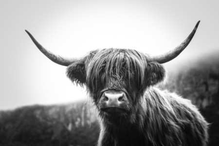 Scottish Highland Cow 35