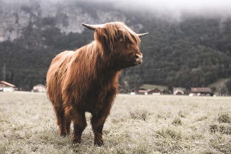 Scottish Highland Cow 36