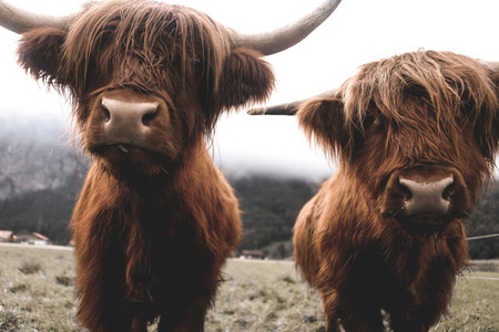 Scottish Highland Cow 38