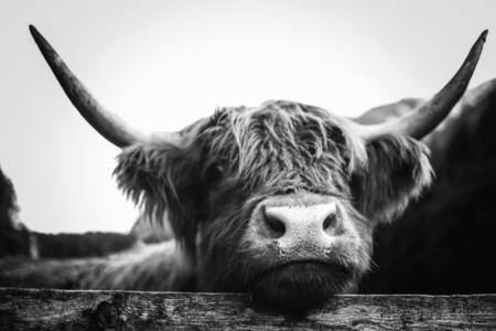 Scottish Highland Cow 39