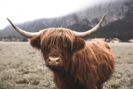 Scottish Highland Cow 40