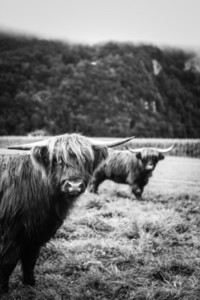 Scottish Highland Cow 41