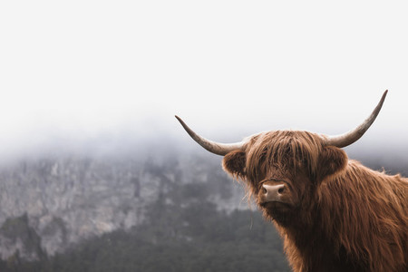 Scottish Highland Cow 42