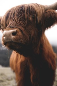 Scottish Highland Cow 43