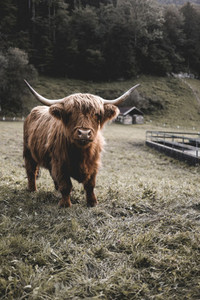 Scottish Highland Cow 44