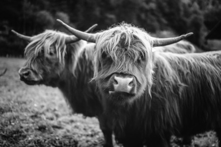 Scottish Highland Cow 45