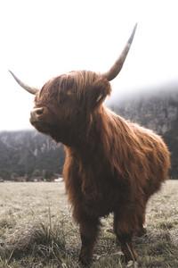 Scottish Highland Cow 46