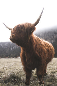 Scottish Highland Cow 46