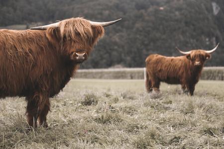 Scottish Highland Cow 47