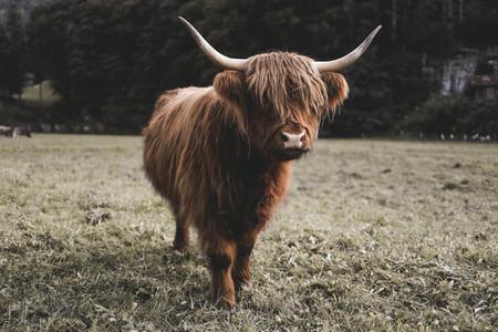 Scottish Highland Cow 49